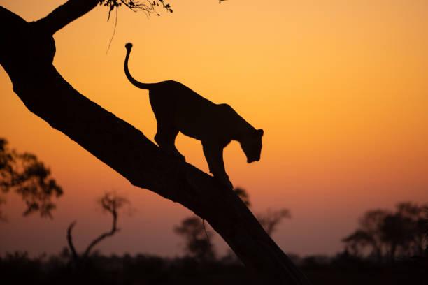 Lion lioness walking down a tree picture id1177737754?b=1&k=6&m=1177737754&s=612x612&w=0&h=y7wkjgwxwdzu4k3eeurtogwvrvt8b hiurpwubfhmya=