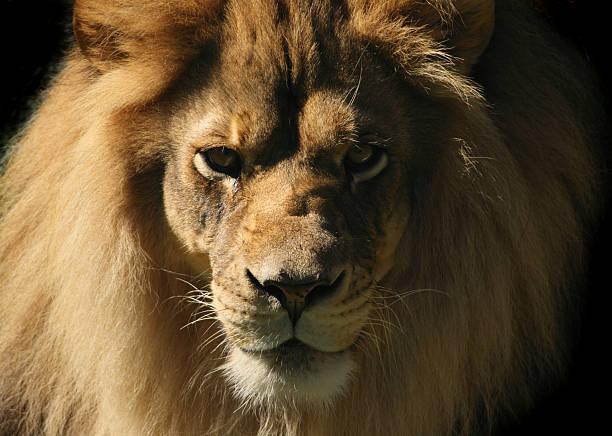 ライオンカメラ目線、クローズアップ;動物の頭部および肩のポートレート - ライオン ストックフォトと画像