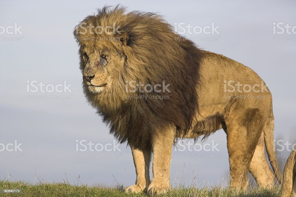 Lion looking out for potential danger royalty-free stock photo