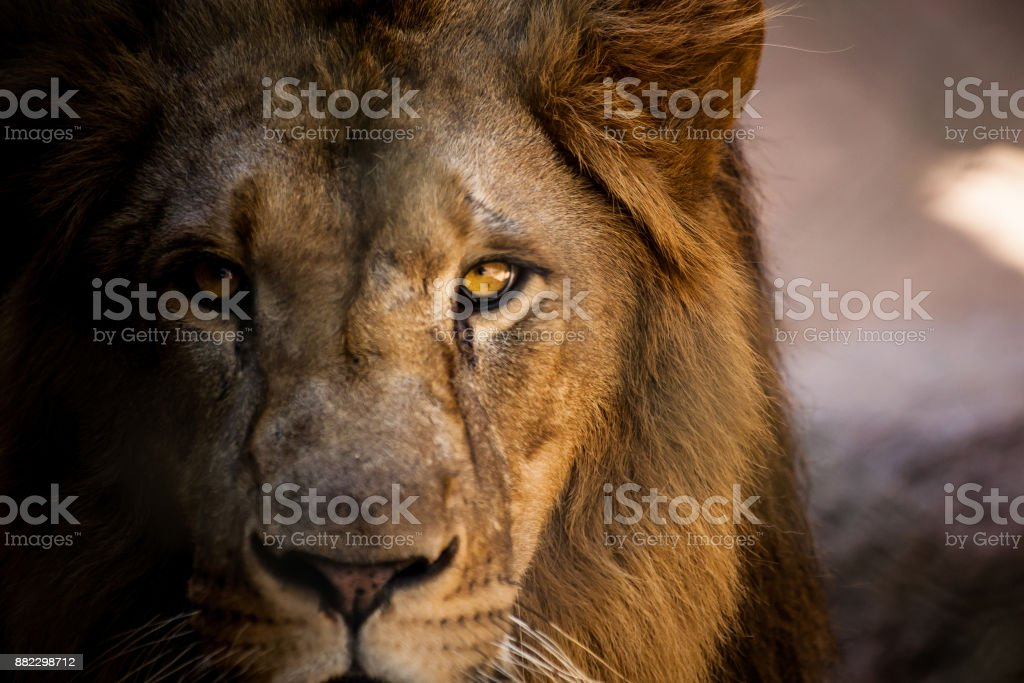 Lion looking straight into the camera. stock photo