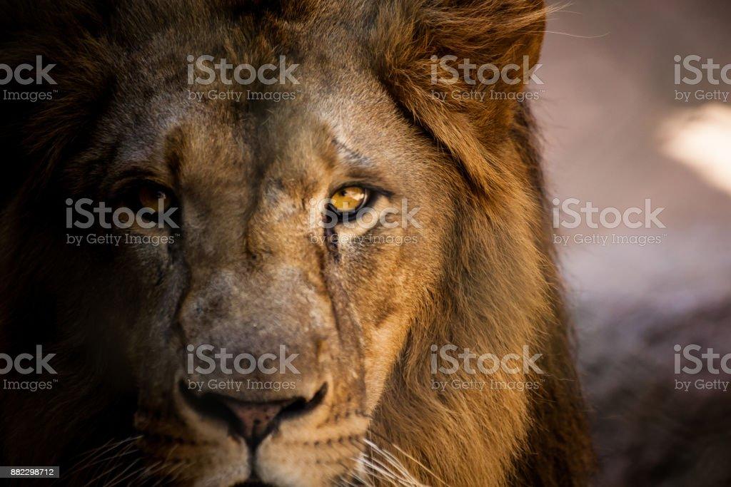 Lion regarde directement dans la caméra. - Photo