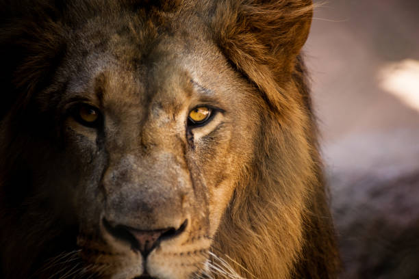 lion looking straight into the camera. - lion stock photos and pictures