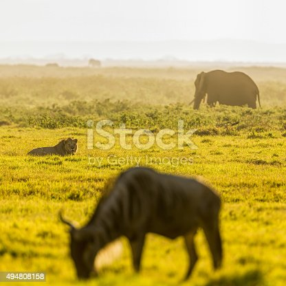 Lion looking to grazing wildebeest for hunting and Elephant at dramatic sunrise at Amboseli National Park - selective focus to lion