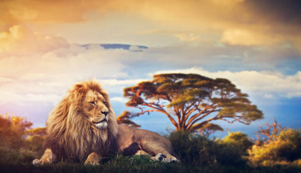 Lion lying in grass. Sunset over Mount Kilimanjaro stock photo