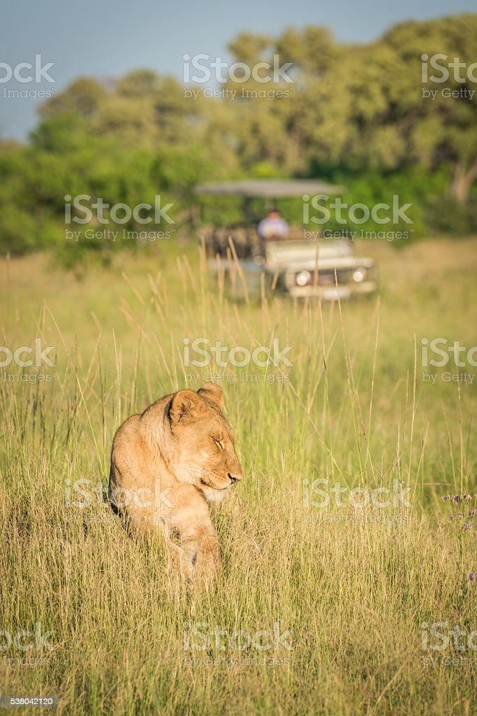 Lion lying in grass with jeep behind stock photo