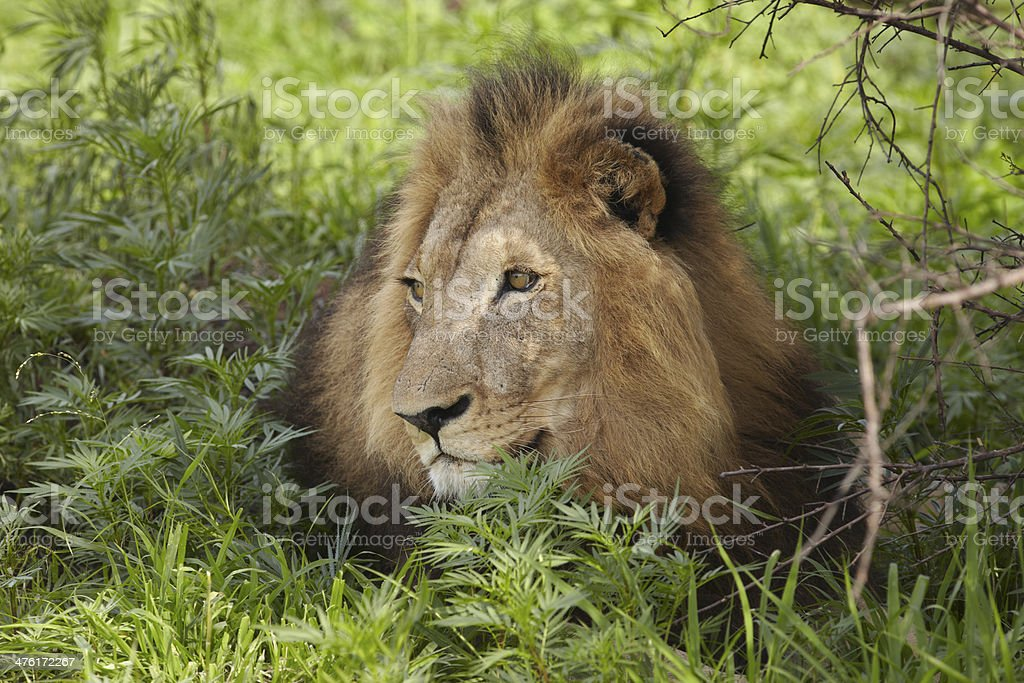 Lion lying in shade of tree royalty-free stock photo