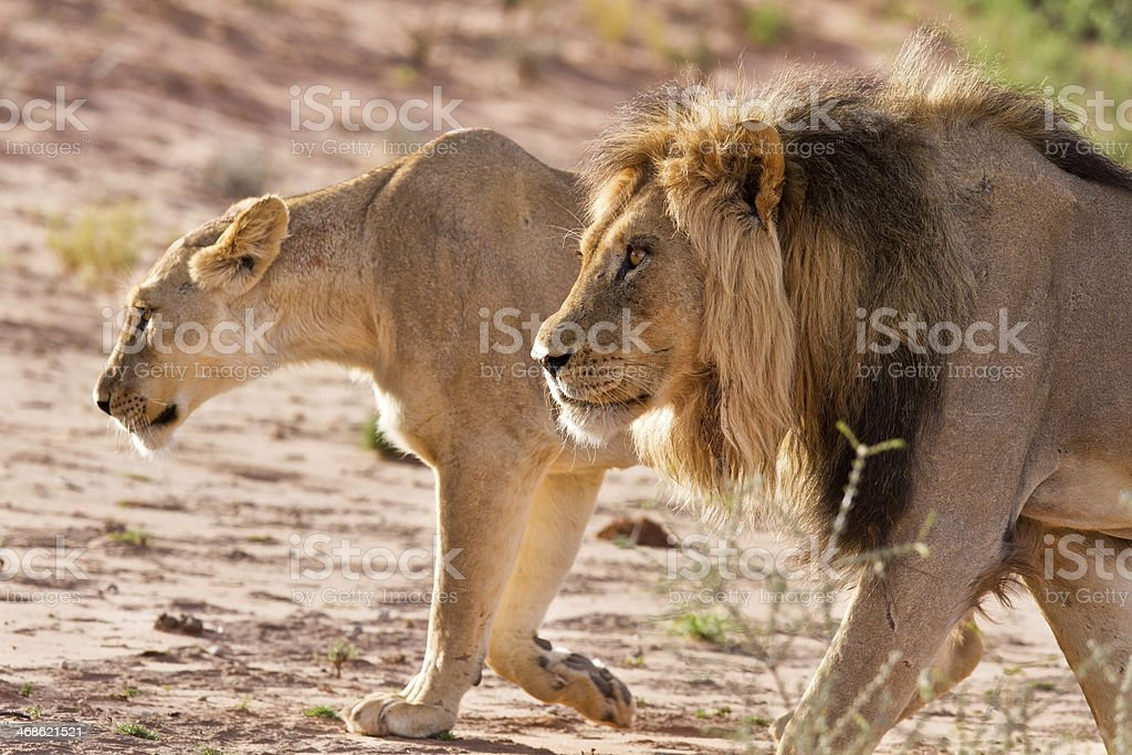 Lion male and lioness hunting stock photo