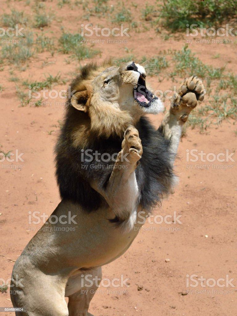 Lion male, Namibia stok fotoğrafı