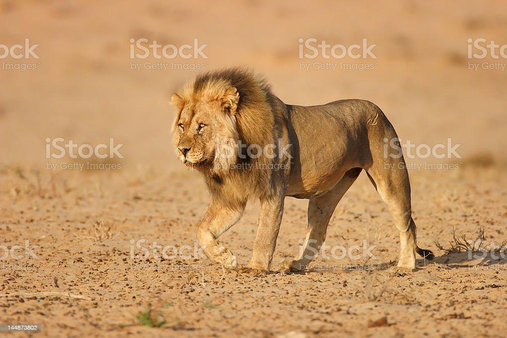 Lion male walking stock photo