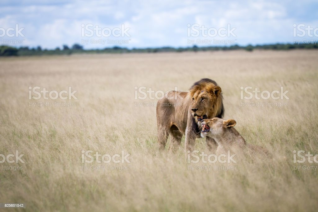 Lion mating couple in the high grass. stock photo