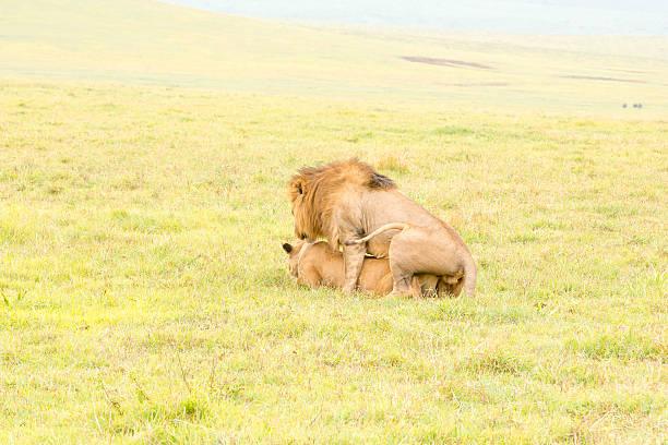 lion sich paaren (penis) - tierpenis stock-fotos und bilder