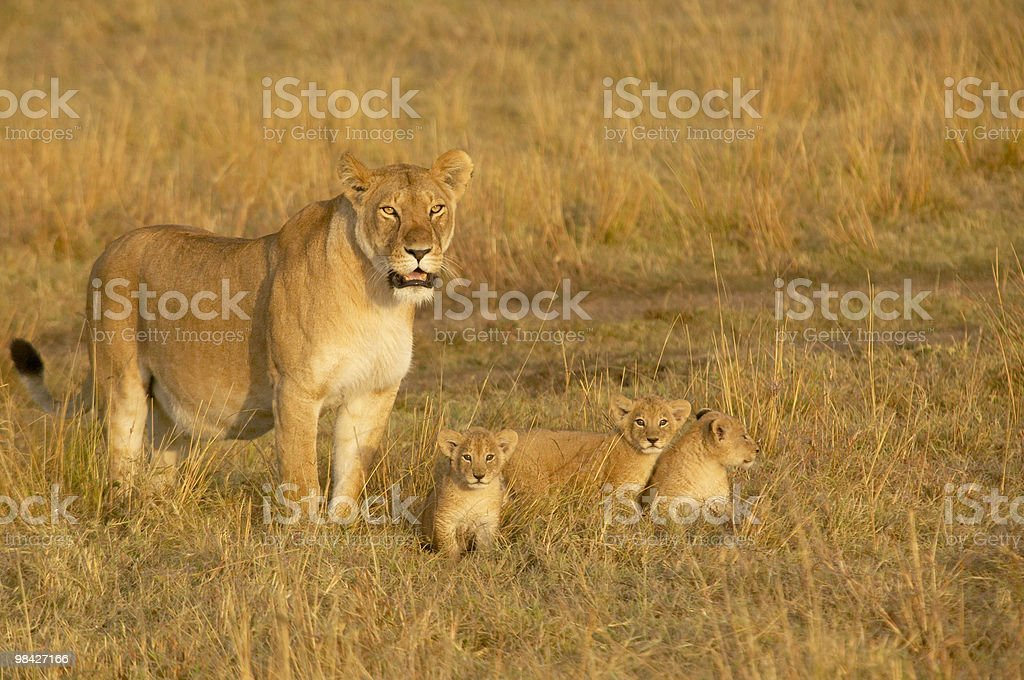Lion mother and three cubs royalty-free stock photo