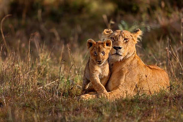 mamma e cucciolo di leone - fauna selvatica foto e immagini stock