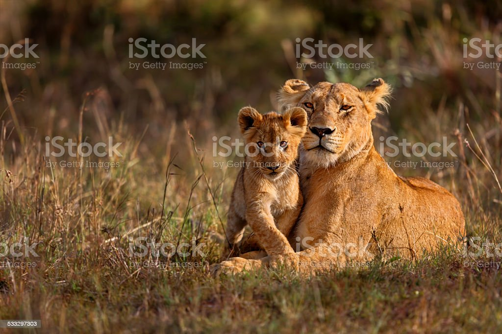 Lion mother with cub stock photo