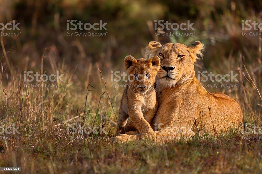 Mamma e Cucciolo di leone - foto stock