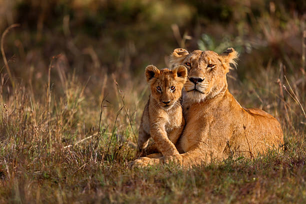 lion mother with cub - animals in the wild stock pictures, royalty-free photos & images