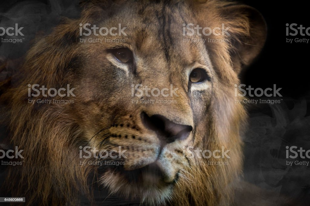 Lion of Beautiful Portrait,power life stock photo