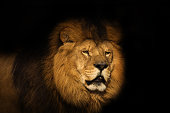 View of a Berber Lion with a black background.