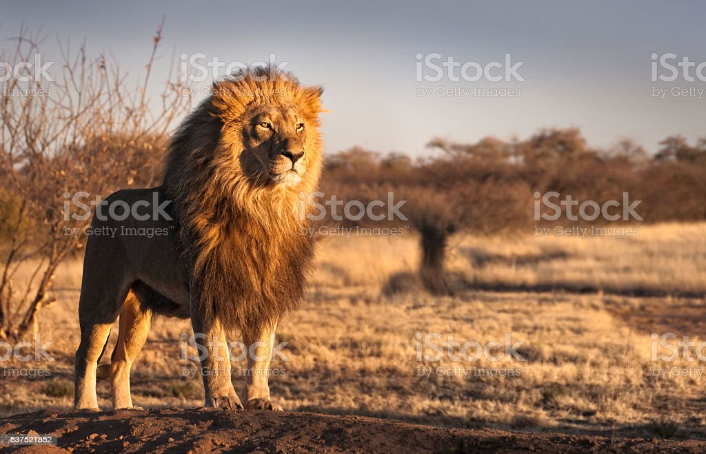 Lion on a hill stock photo