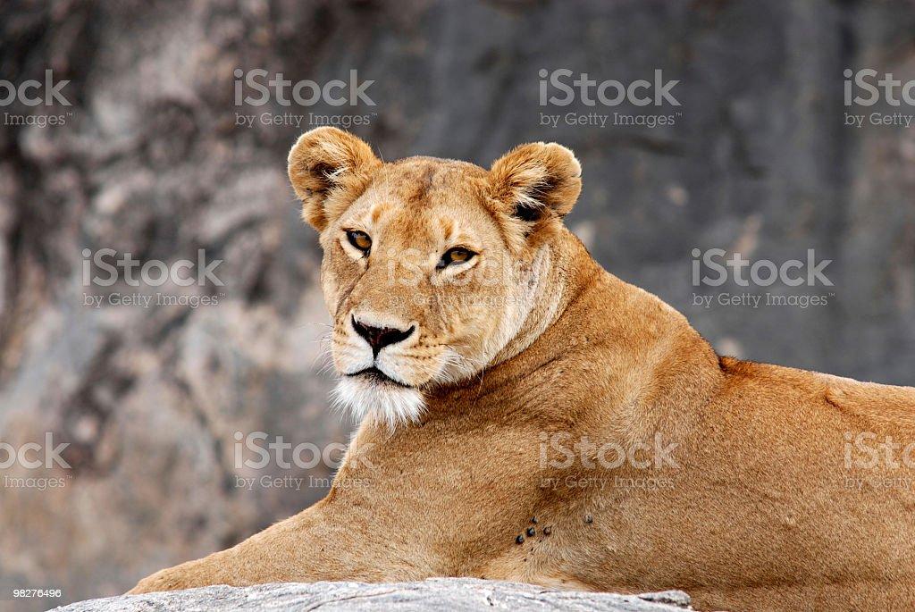 lion on a rock called Simba Kopjes, Serengeti, Tanzania royalty-free stock photo