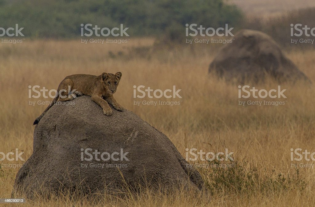 Lion on a rock stock photo