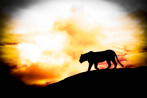 Lion on a rock silhouette picture id490277692?b=1&k=6&m=490277692&s=612x612&w=0&h=mfcbdxitgxpkr2z1eejthr2xa1zc0gbhfmsnvdmpiiy=