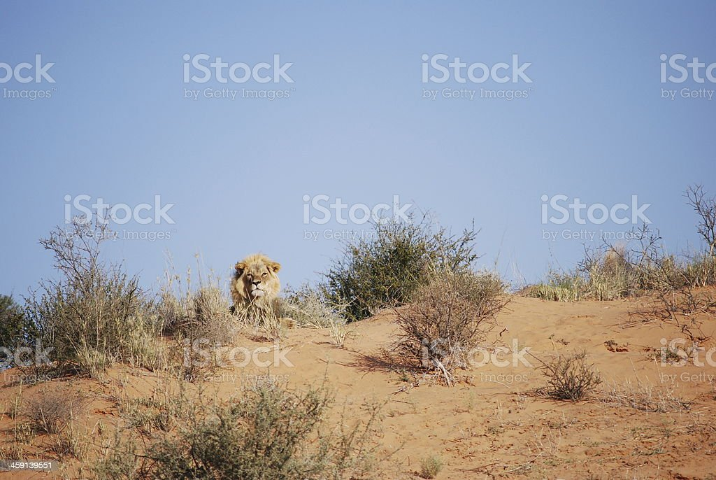 Lion on a Sand Dune stock photo