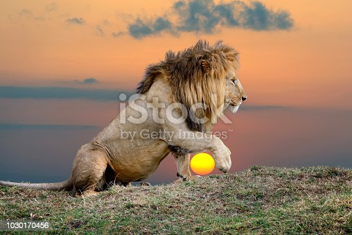 Close lion on sunset background in National park of Kenya, Africa
