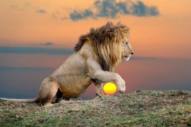 Lion on sunset background picture id1030170456?b=1&k=6&m=1030170456&s=612x612&w=0&h=ncbjpxyoymf57movthrkammg5xavgckioiazenmatdu=
