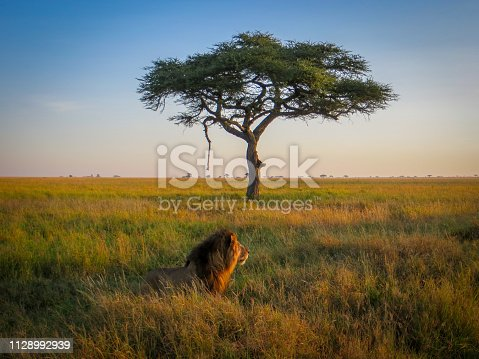 A lion on the prowl, in the early morning light, with an acacia tree in the background. On safari in Serengeti National Park, Tanzania, Africa.