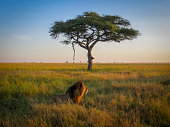 A flat-topped acacia tree from the Serengeti in Tanzania (Acacia abyssinica).