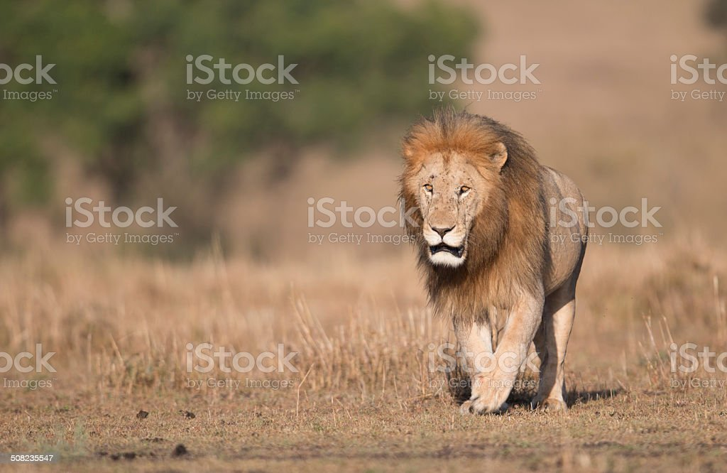 Lion on the prowl stock photo