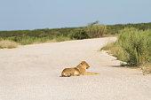 Lion in Etosha National Park, Namibia