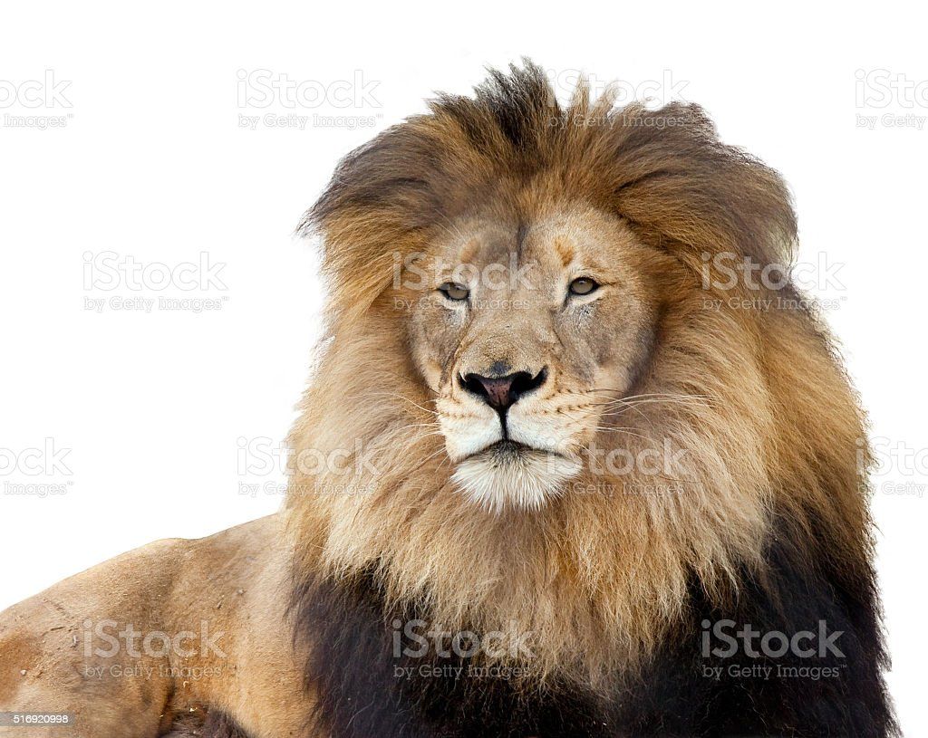 Lion on white background stock photo