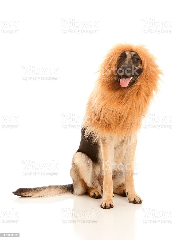Lion or Dog? stock photo