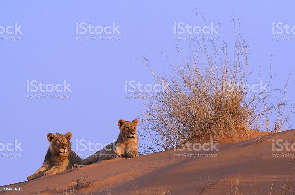 Lion pair on top of a kalahari sand dune stock photo
