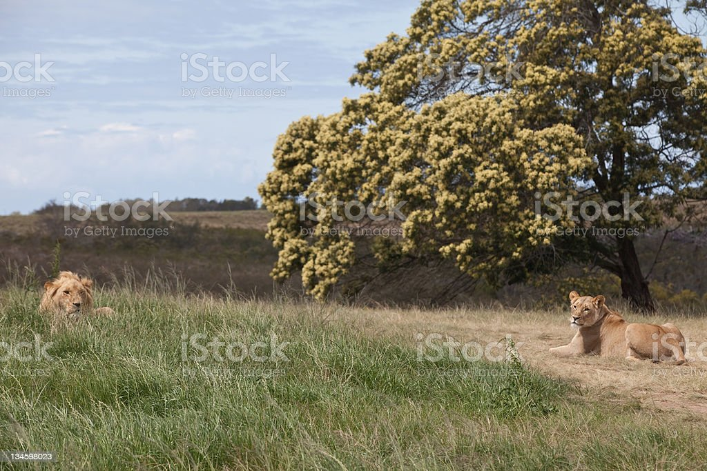 Lion pair stock photo