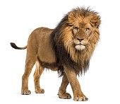 istock Lion, Panthera Leo, 10 years old, isolated on white 877369086