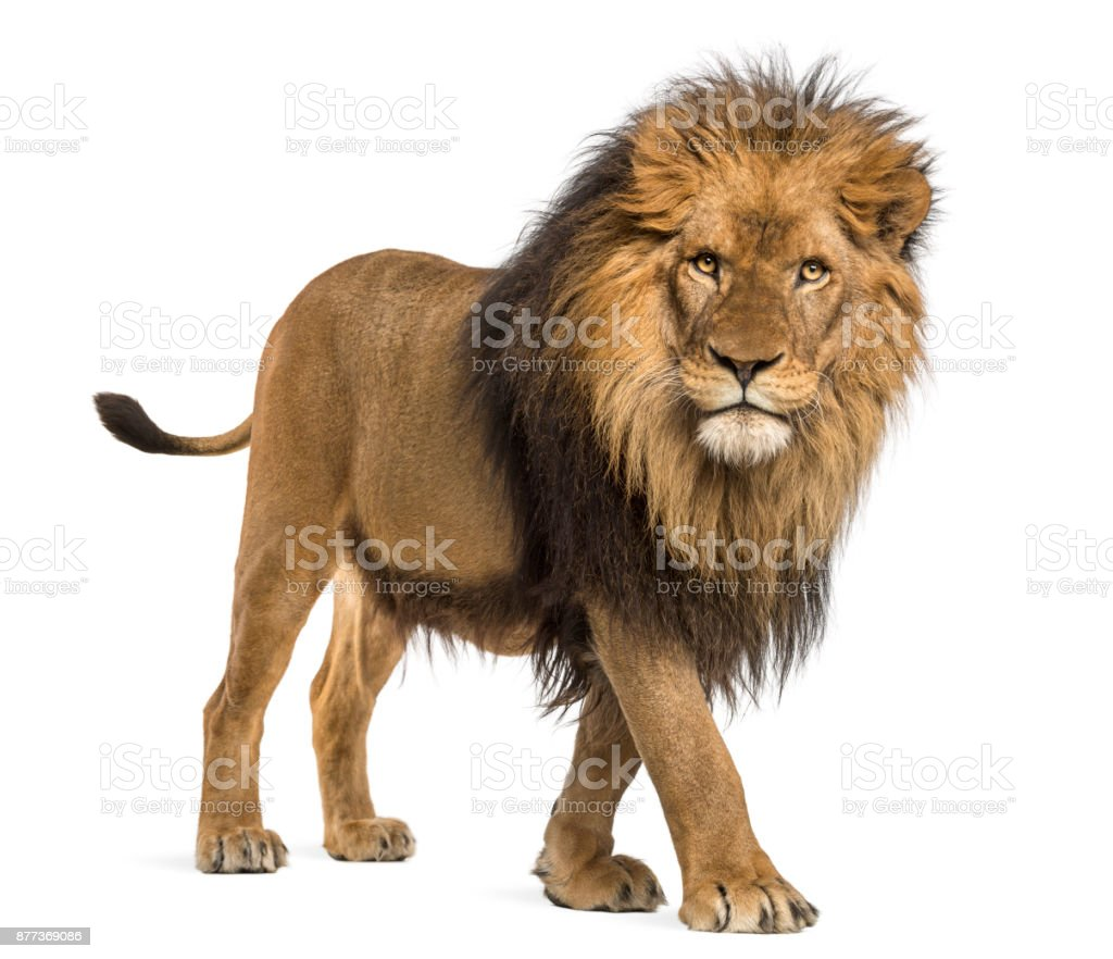 Lion, Panthera Leo, 10 years old, isolated on white stock photo