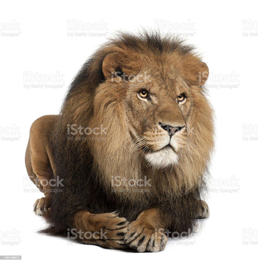 Lion, Panthera leo, 8 years old, lying royalty-free stock photo