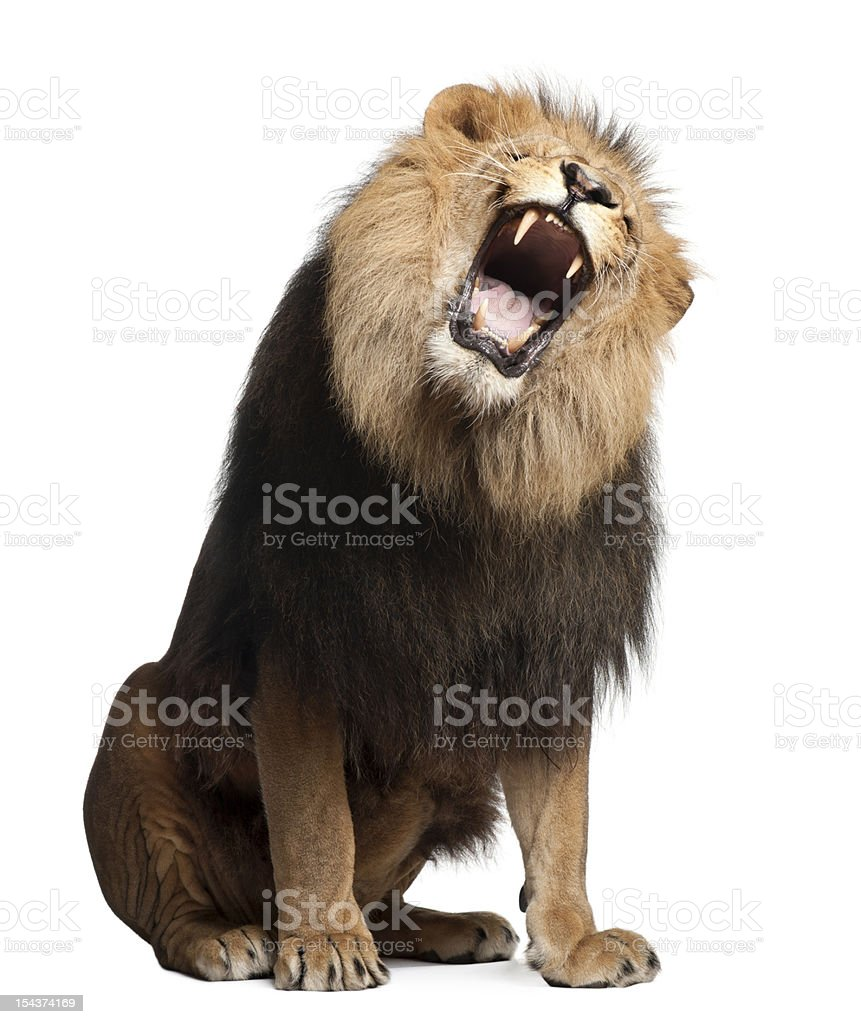 Lion, Panthera leo, 8 years old, roaring stock photo