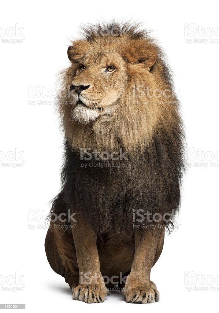 Löwe, Panthera leo, 8 Jahre alt, sitzt – Foto