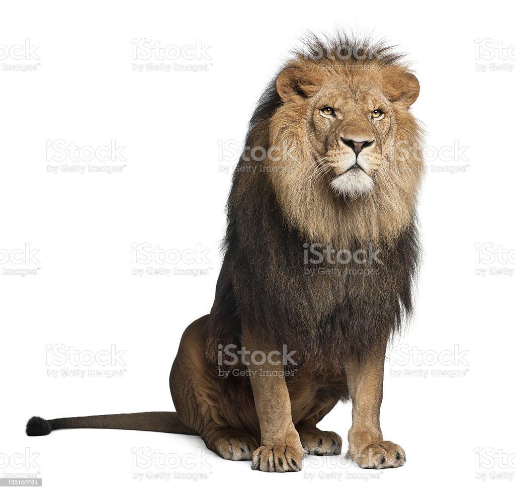 Lion, Panthera leo, 8 years old, sitting stock photo