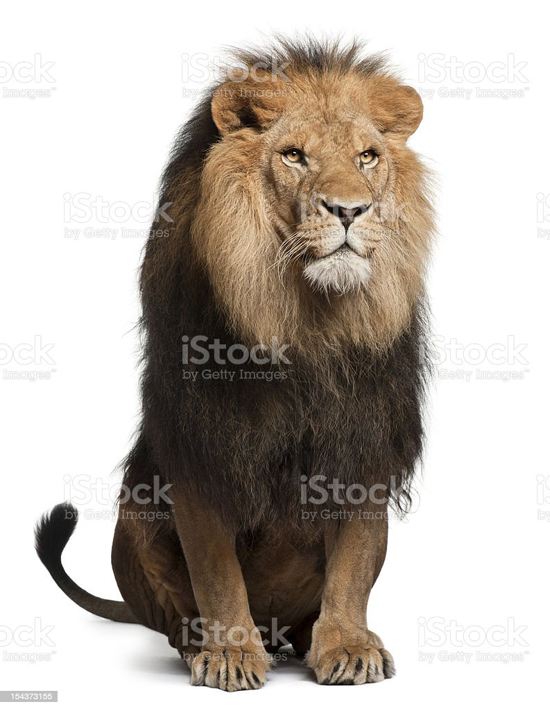 Lion, Panthera leo, 8 years old, sitting stock photo