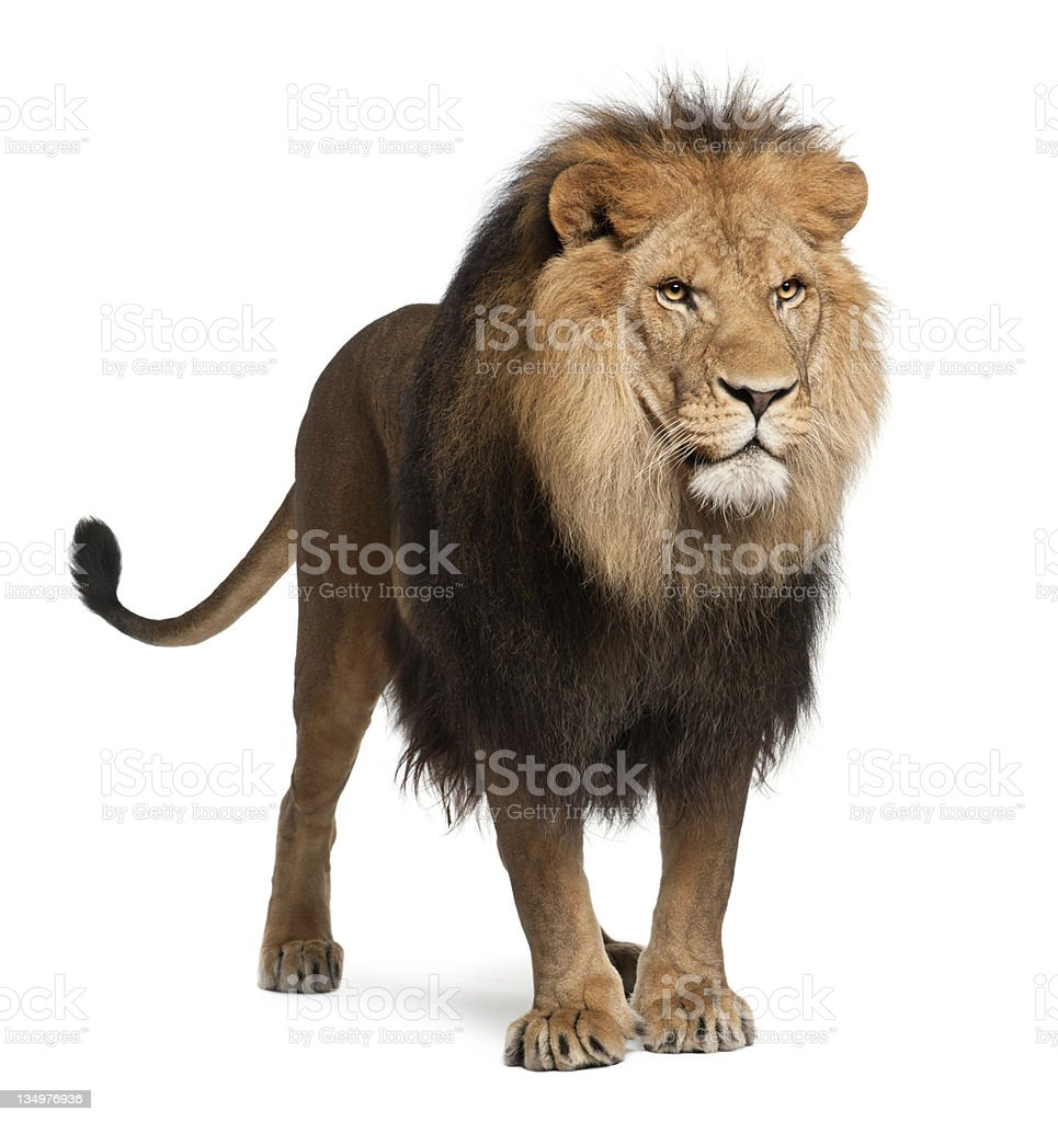 Lion, Panthera leo, 8 years old, standing stock photo