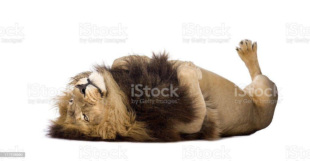 Lion (4 and a half years) - Panthera leo stock photo