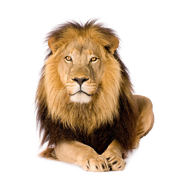 lion (4 and a half years) - panthera leo - lion stock photos and pictures