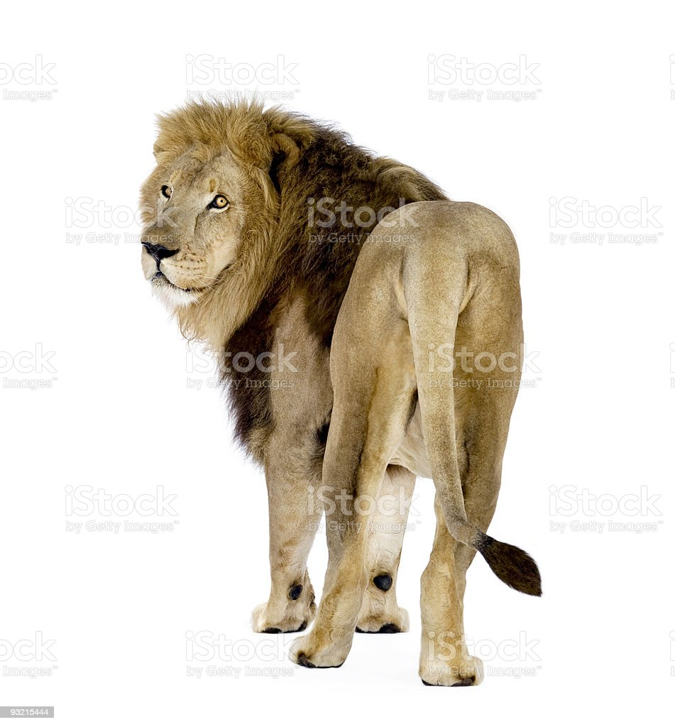 Lion (8 years) - Panthera leo royalty-free stock photo