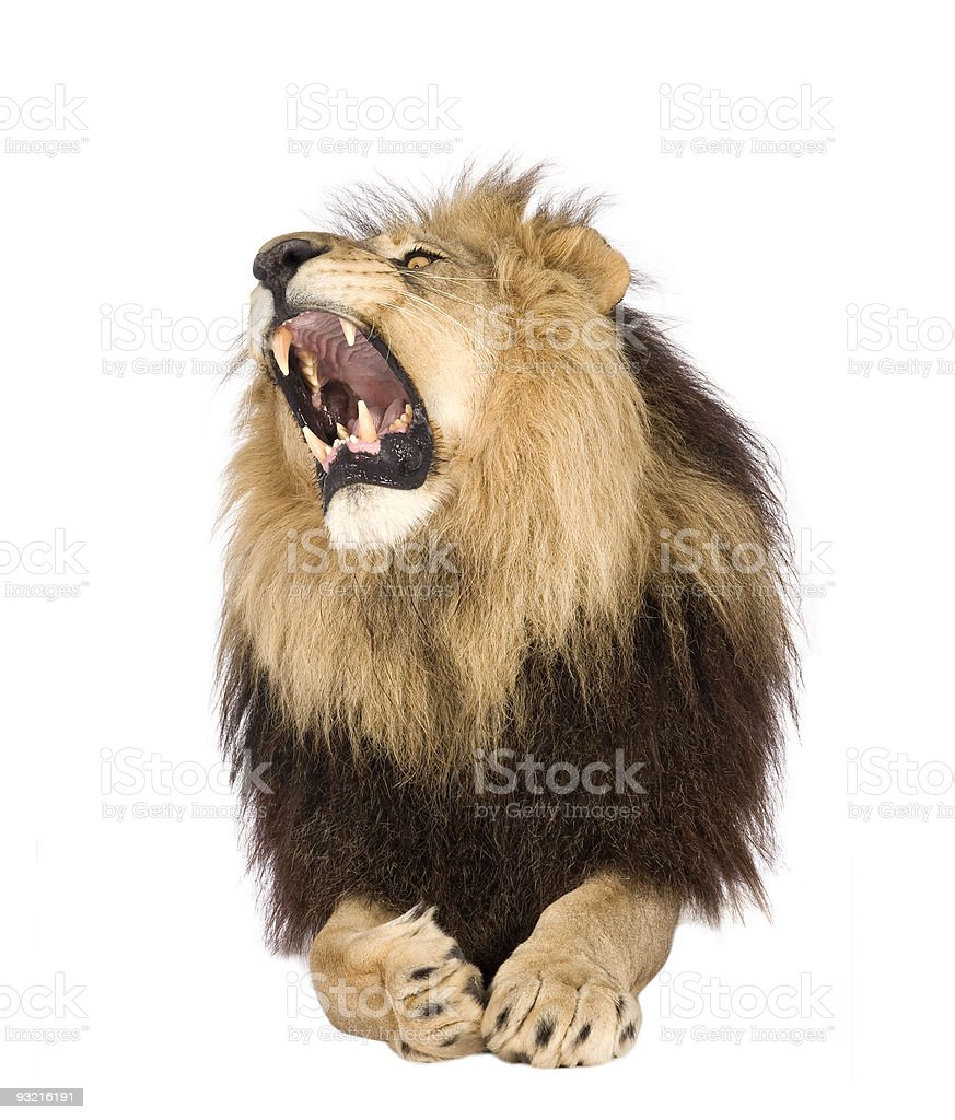Lion (4 and a half years) - Panthera leo royalty-free stock photo