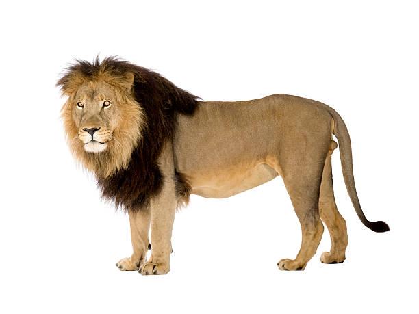 Lion panthera leo picture id93216996?b=1&k=6&m=93216996&s=612x612&w=0&h=rqczeb2udt vyhaumj4xtbklismd2aeogry4flv9tjk=